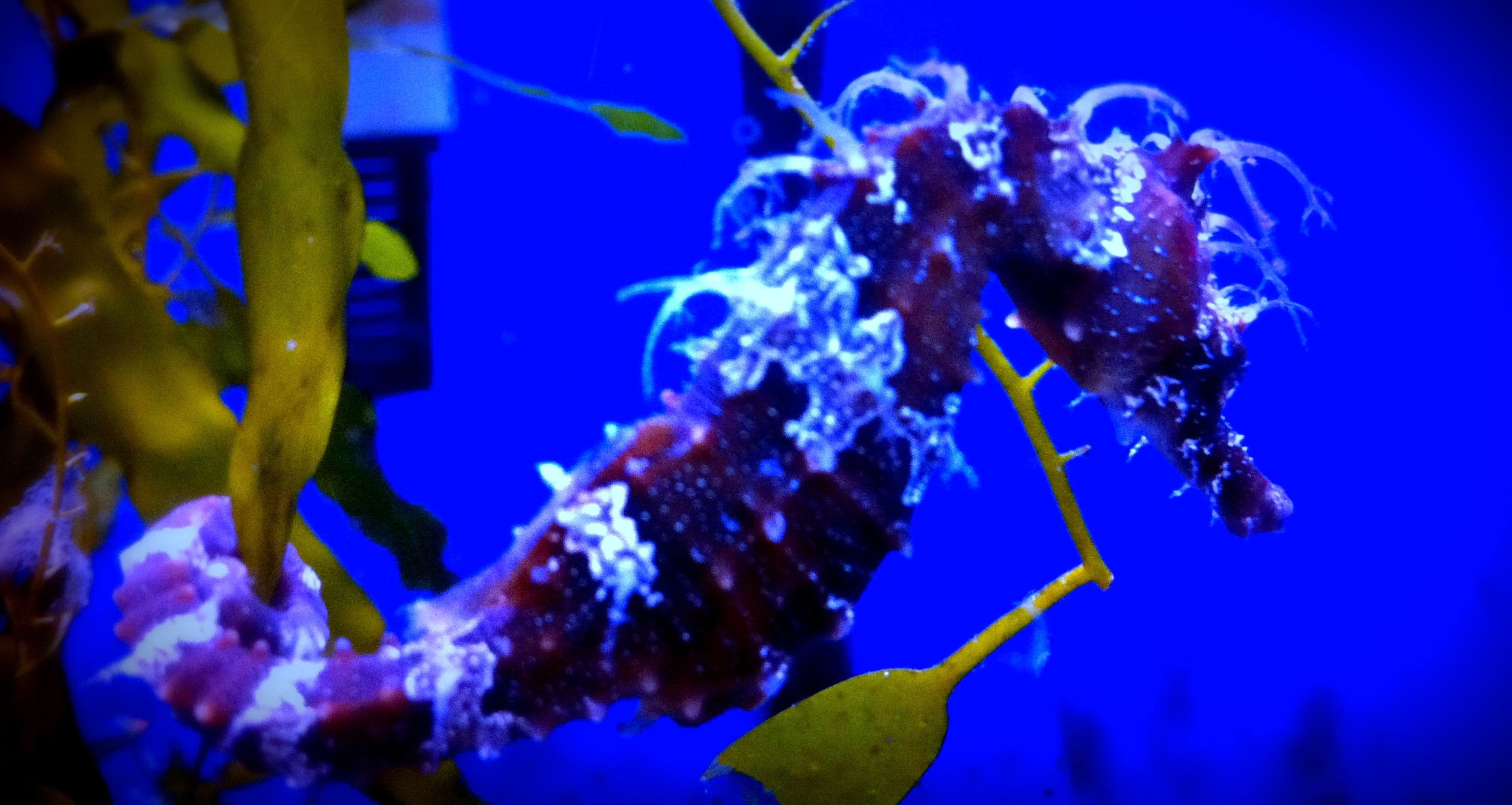 Breeding seahorses Seahorses for sale